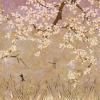 Les cerisiers sauvages Rose